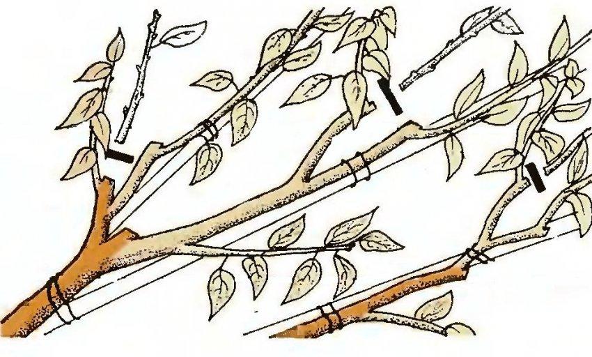 Схема обреза молодых черенков черешни