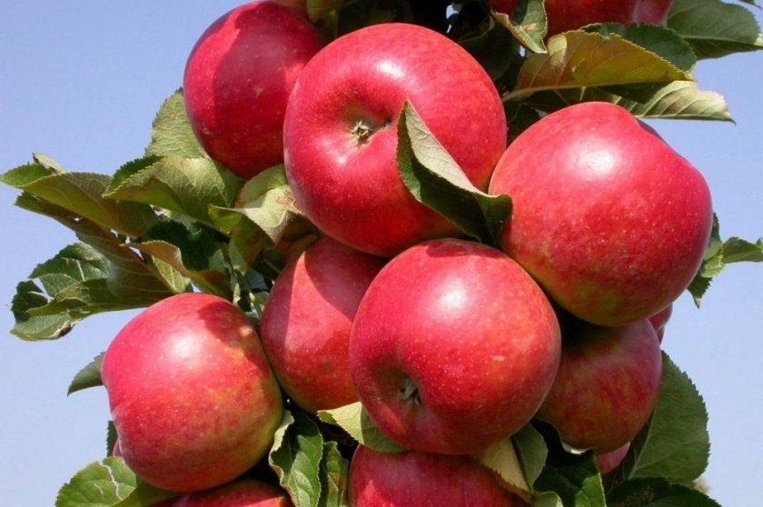 Сорт яблони Арбат