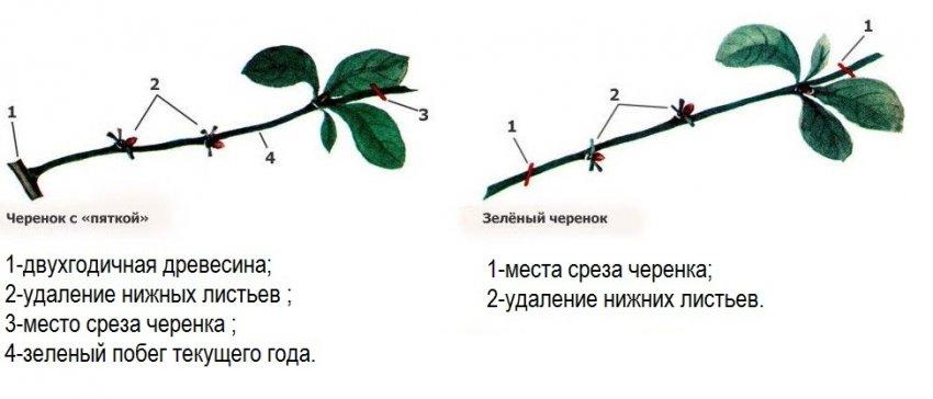 Схема среза черенка и листьев