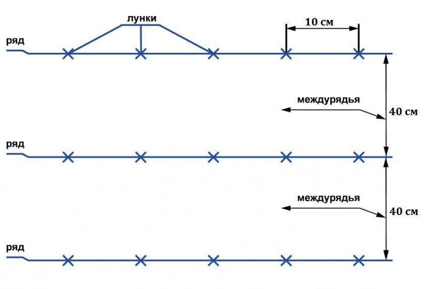 Схема посадки рассады лука