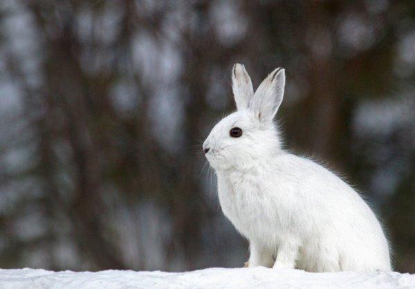 Чем кормить кролика зимой? Разведение кроликов зимой - Общая информация