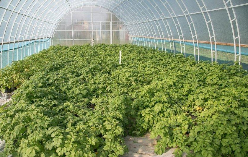 Выращивания картофеля в теплице из поликарбоната