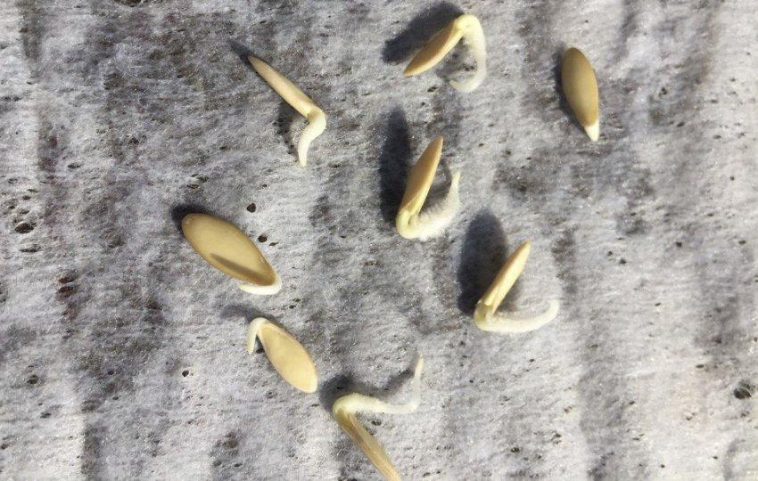 проращивание семян огурцов перед посадкой отзывы