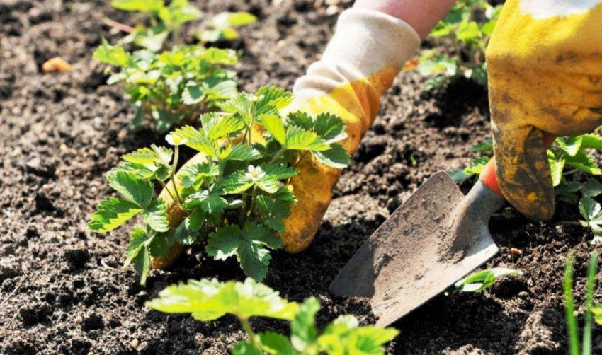 Почва для посадки клубники