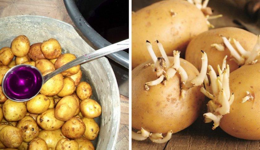 Подготовка картофеля к посадки