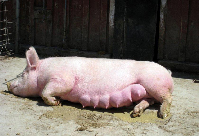 Беременная свиноматка