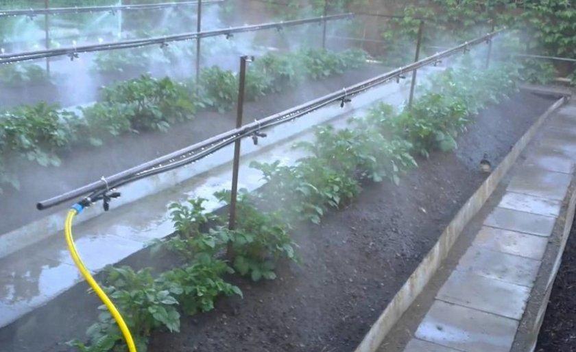 Дождевание картофеля в теплице