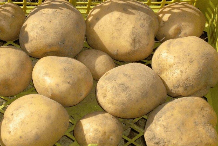 Картофель Приекульский ранний