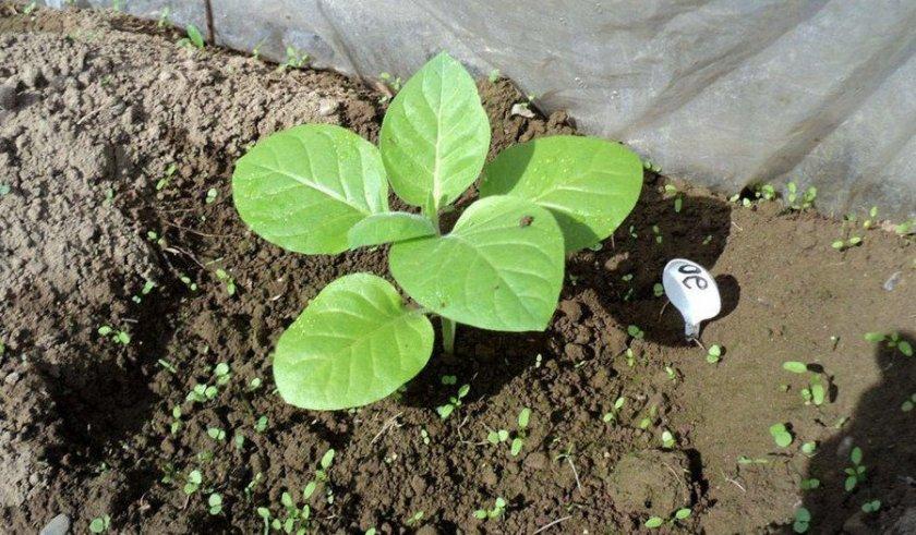 Высадка рассады табака в грунт
