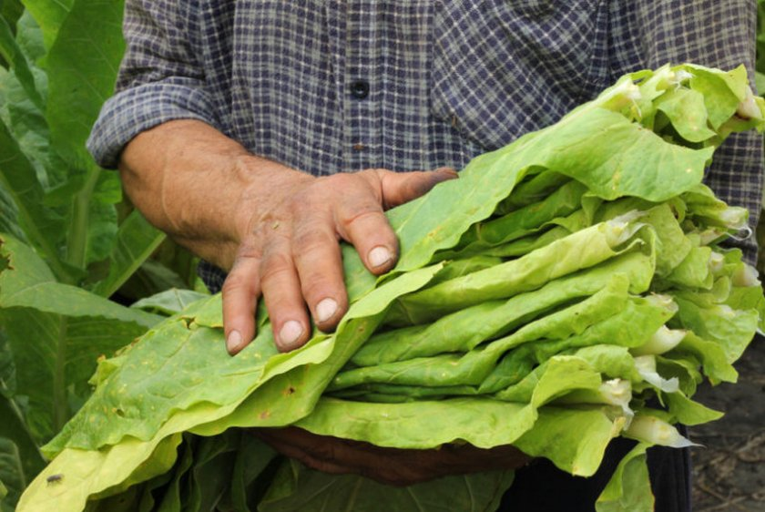 Сбор урожая табака