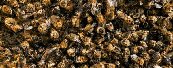 Срок хранения настойки пчелиного подмора
