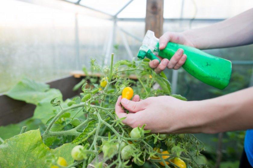 Опрыскивание томатов йодным раствором