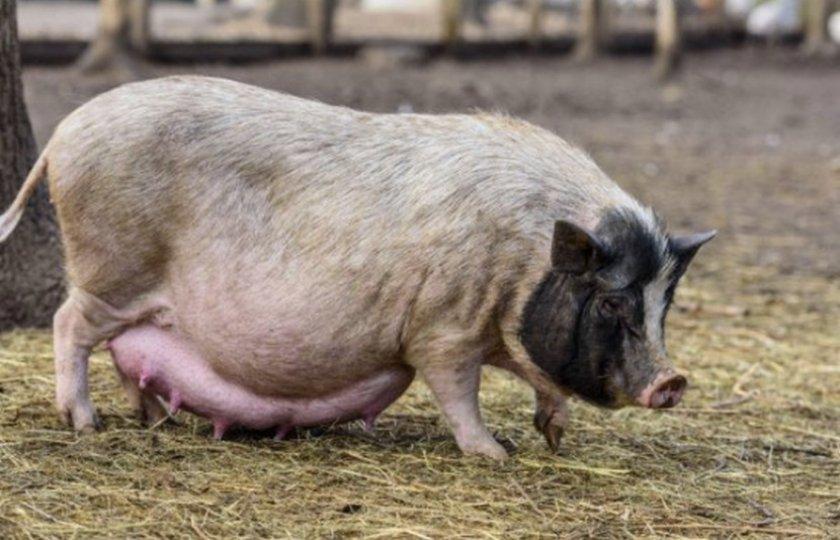 Беременность свиньи