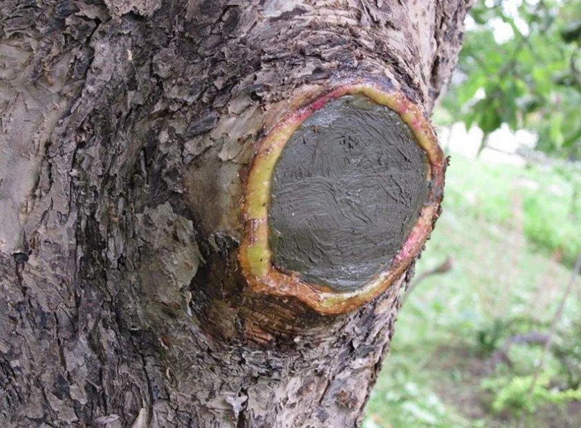 Замазывание среза на яблоне