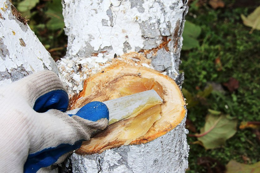 Обработка срезов на яблоне