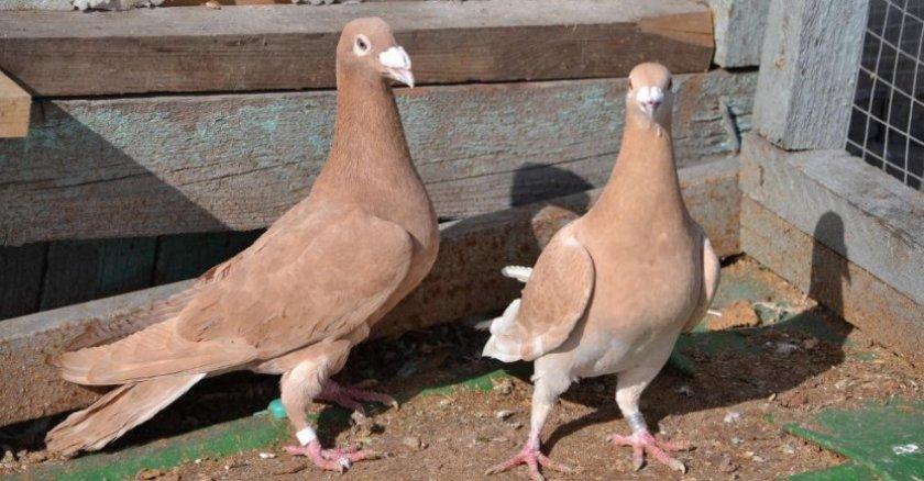 Чешские голуби