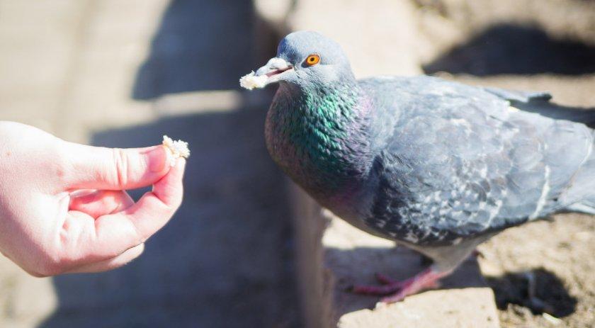 Голубь ест