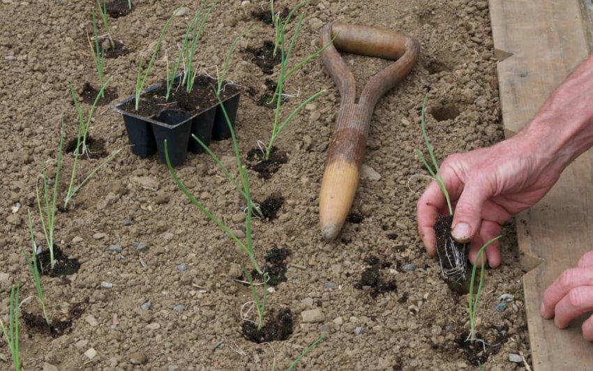 Посадка рассады лука-порея в открытый грунт