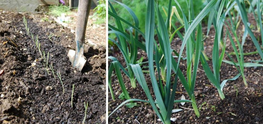 Выращивание лука-порея в открытом грунте