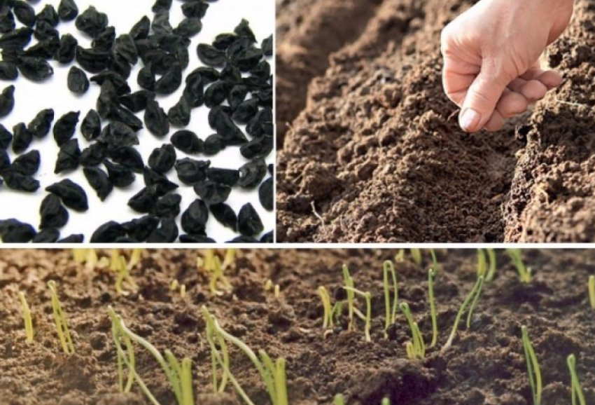 Посев семян лука-порея в открытый грунт