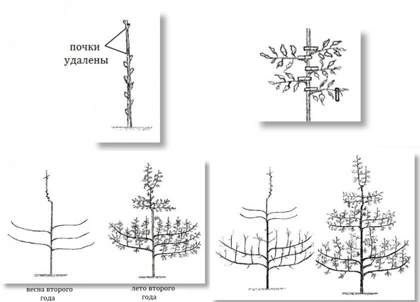 Схема формировки по системе Фогеля