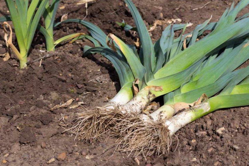Сбор урожая лука-порея