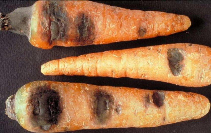 Чёрная гниль на моркови