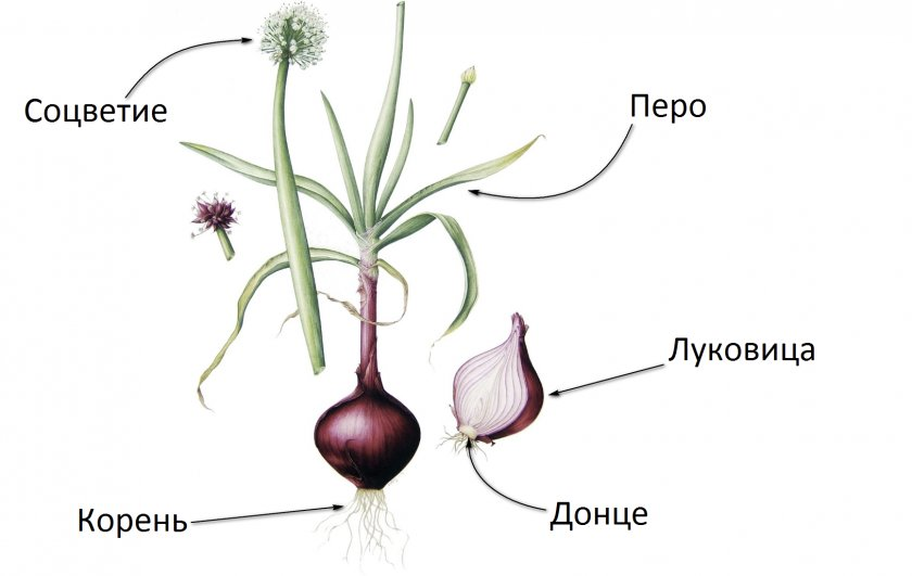 Ботаника лука