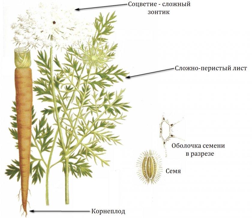 Ботаника моркови