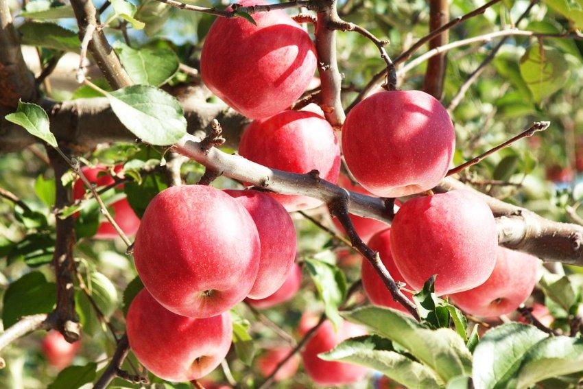 Яблоня Sekai-Ichi
