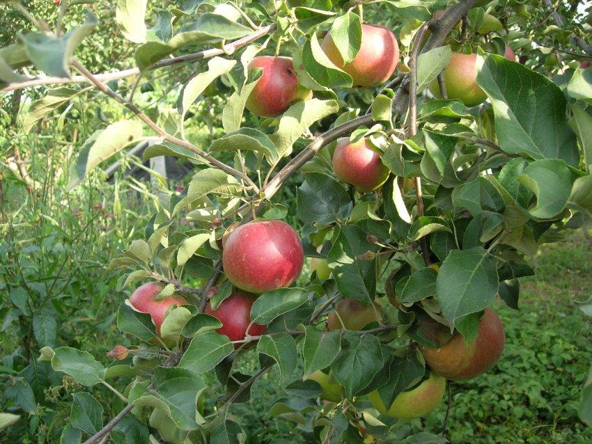 Яблоня Скрыжапель