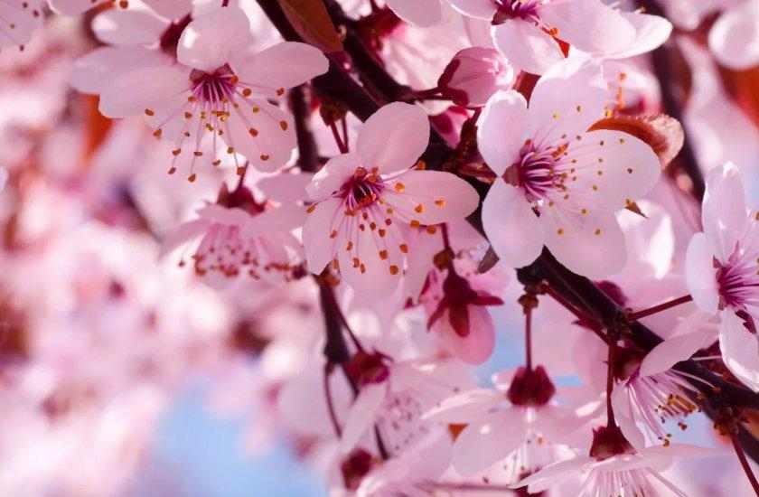 Урожай вишни в Херсонской области под угрозой