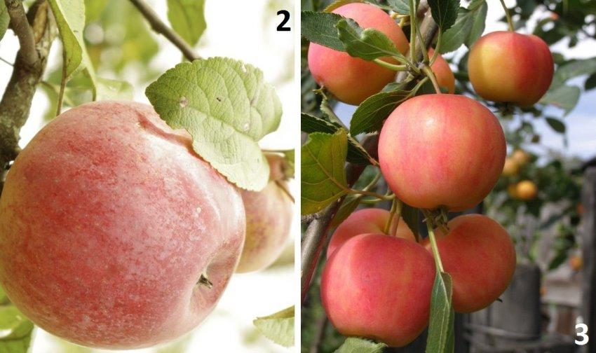 Яблони Зоренька и Бархатное