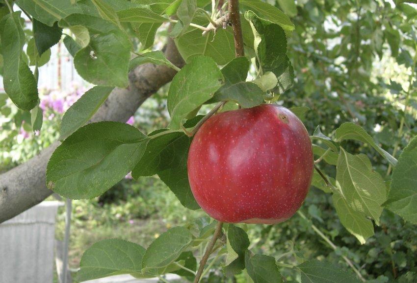Яблоня Квинти
