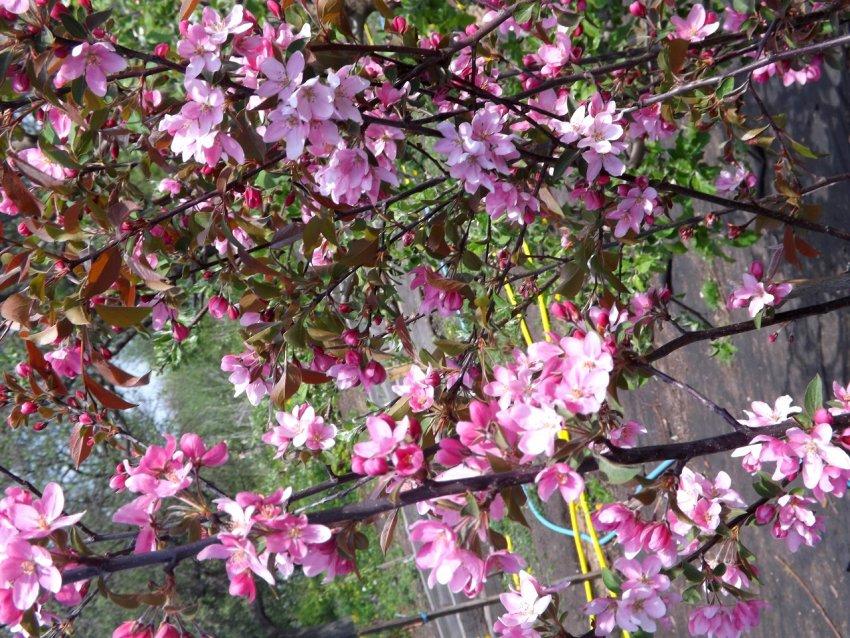 Декоративная цветущая плакучая яблоня