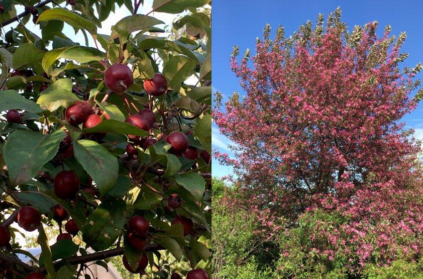 Декоративная яблоня Малиновка