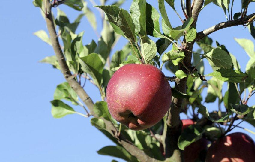 Яблоня Мелроуз