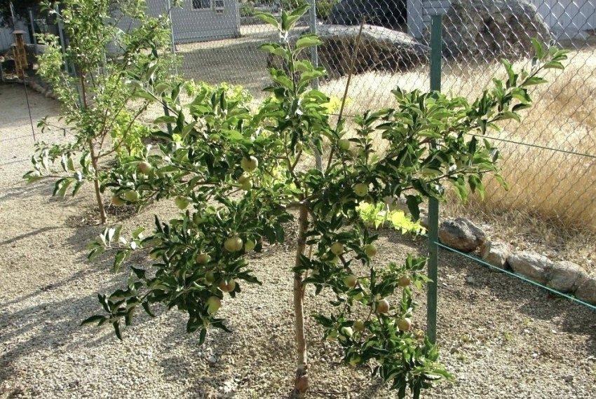 Карликовая яблоня Чудное