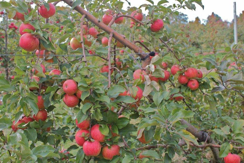 Карликовая яблоня Приземлённое