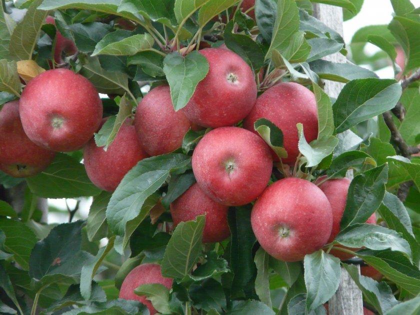 Яблоня Красная горка