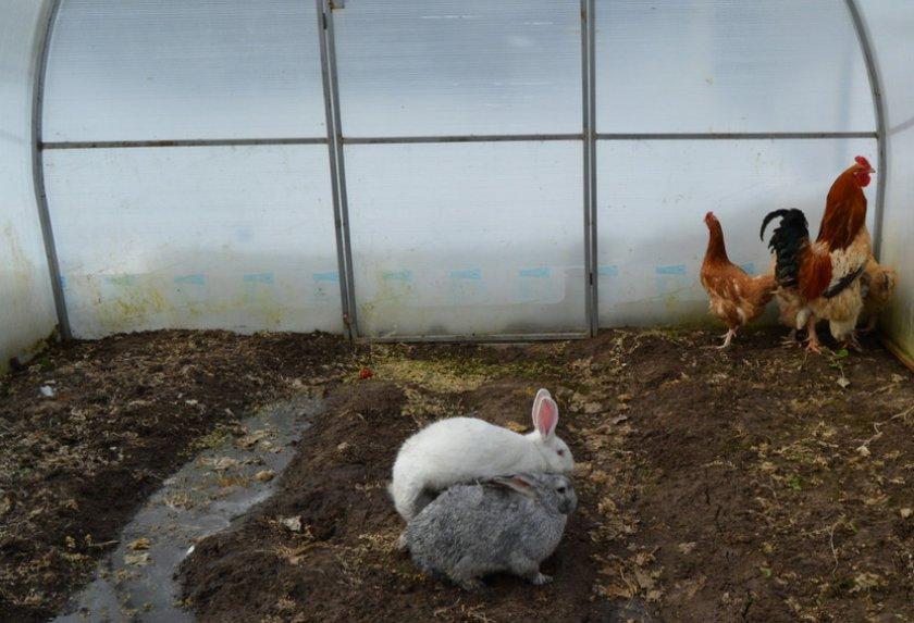 Содержание кроликов из курами