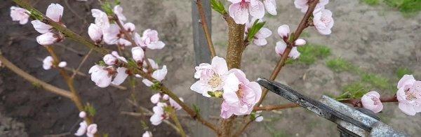 Можно ли обрезать персик осенью