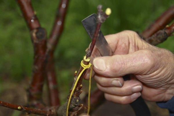 Абрикос уход осенью выращивание посадка прививка и окулировка