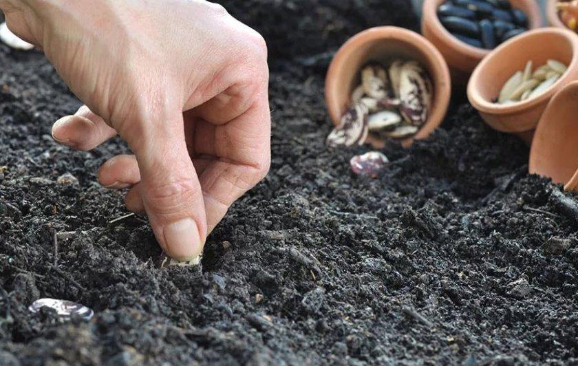 Посадка фасоли в открытый грунт