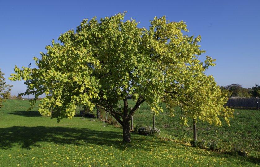 Абрикосовое дерево осенью