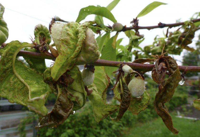 Курчавость персиковых листьев