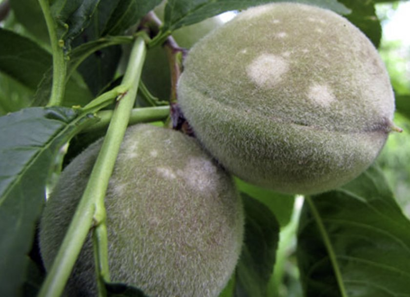 Мучнистая роса на персиках
