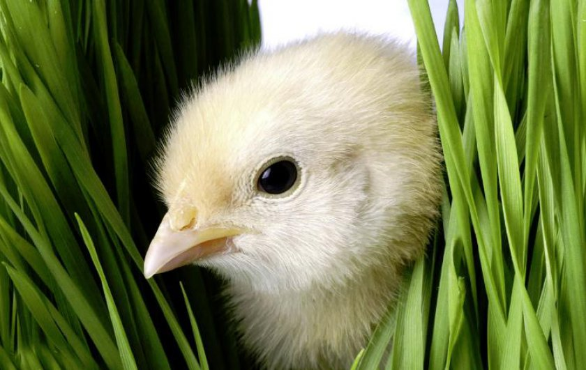 Порода курицы Арбор айкрес