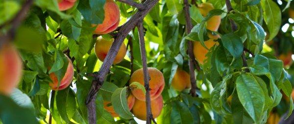 Осенняя посадка персиков косточками