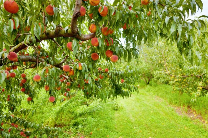 Дерево персика